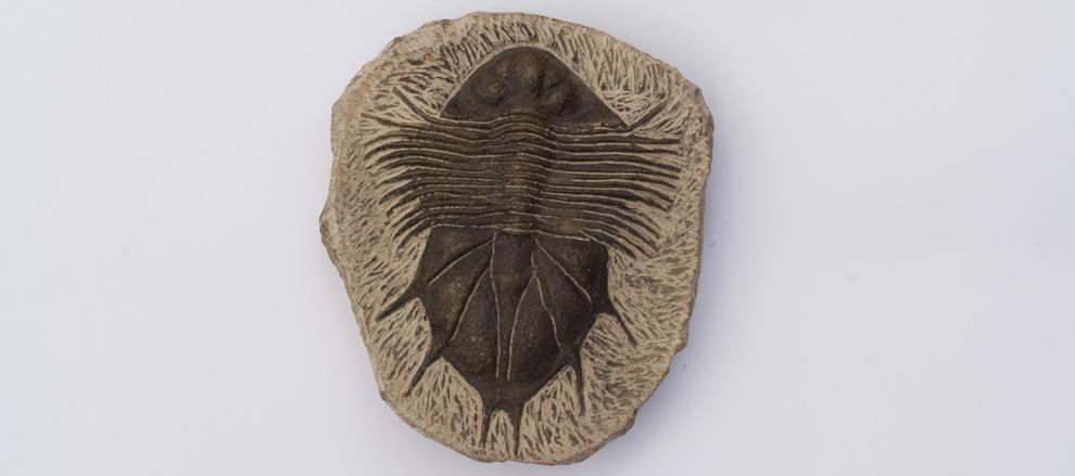 trilobiet uit Marokko